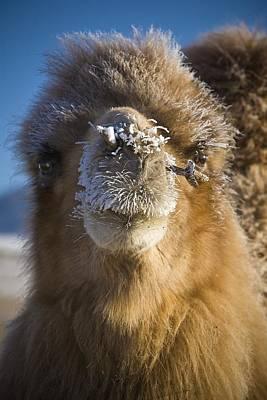 Bactrian Camel Camelus Bactrianus Art Print by David DuChemin