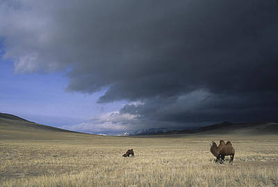 Bactrian Camels In Bayan-ulgii,mongolia Art Print by David Edwards
