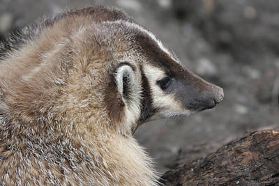 Photograph - Badger - 0016 by S and S Photo