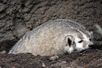 Photograph - Badger - 0015 by S and S Photo