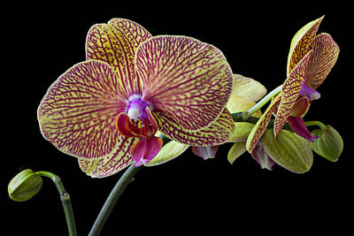 Monocot Photograph - Baeutiful Orchids by Garry Gay