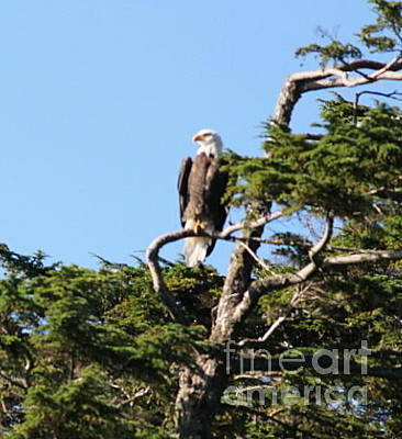 Photograph - Bald Eagle 9 by Pamela Walrath