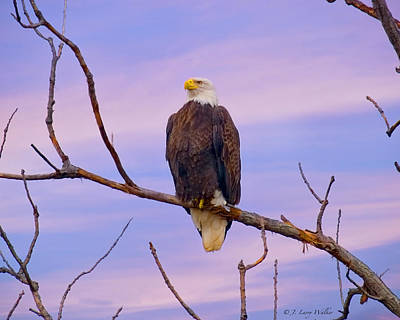 Digital Art - Bald Eagle Along The Mississippi River by J Larry Walker