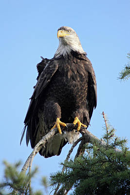 Photograph - Bald Eagle At Boundary Bay by Pierre Leclerc Photography