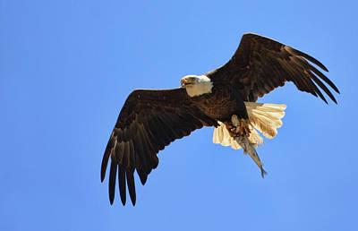Bald Eagle Catch Art Print