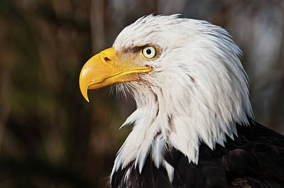 Focus On Foreground Photograph - Bald Eagle by Chad Graham