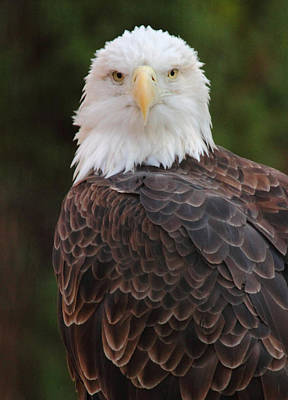 Photograph - Bald Eagle by Coby Cooper