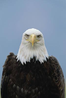 Photograph - Bald Eagle Haliaeetus Leucocephalus by Konrad Wothe