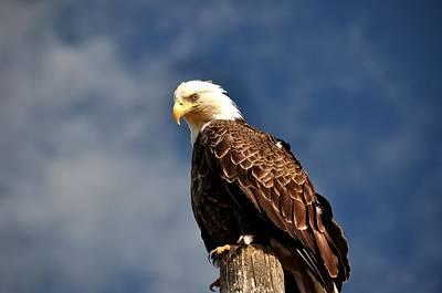 Bald Eagle Homer Alaska Art Print