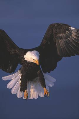 Bald Eagle Hovering In The Air Art Print