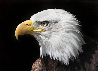 Photograph - Bald Eagle by Ian Merton