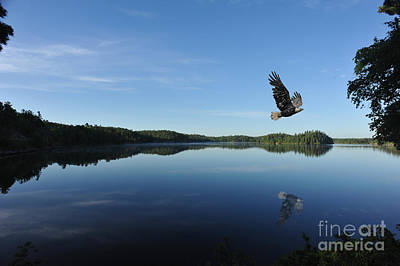 Photograph - Bald Eagle In Canada Flying by Dan Friend