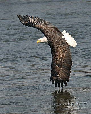 Photograph - Bald Eagle In Flight by Craig Leaper