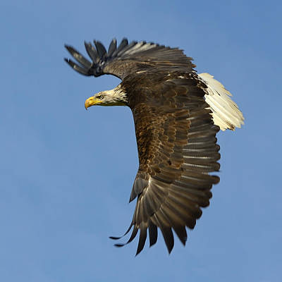 Photograph - Bald Eagle In Flight by Tony Beck