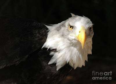Bald Eagle Art Print by Marc Bittan
