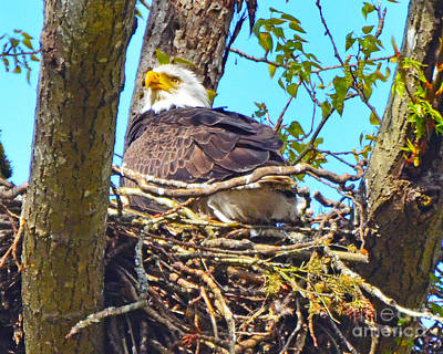 Photograph - Bald Eagle Nest 2 by Jack Moskovita