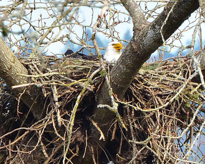 Photograph - Bald Eagle Nest by Jack Moskovita