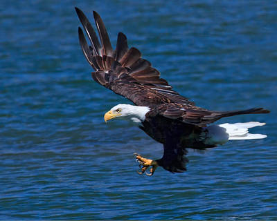 Preditor Photograph - Bald Eagle On The Hunt by Beth Sargent