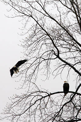 Photograph - Bald Eagle Pair  by Mark J Seefeldt