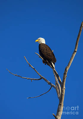 Animals Photos - Bald Eagle Profile by Mike Dawson