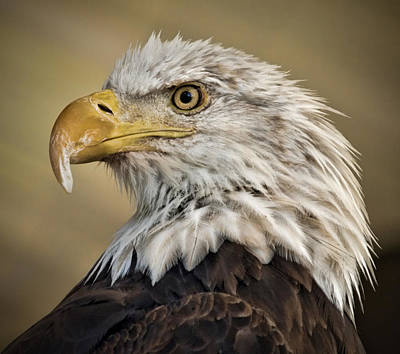 Photograph - Bald Eagle - Raptor Beauty 2 by Elaine Snyder