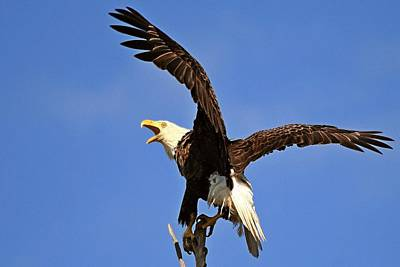 Photograph - Bald Eagle Screaming by Ira Runyan