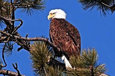 Eagles Photograph - Bald Eagle Sentinal by Don Mann