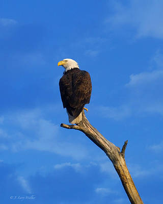 Digital Art - Bald Eagle Sitting High by J Larry Walker
