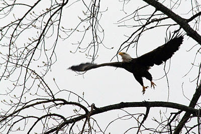 Photograph - Bald Eagle Taking Off by Mark J Seefeldt