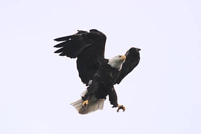 Bald Eagle Tallons Open Art Print by Kym Backland