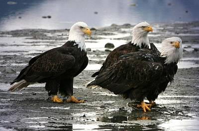 Digital Art - Bald Eagle Trio by Carrie OBrien Sibley