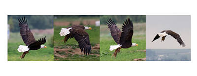Priska Wettstein Land Shapes Series - Bald Eagle with Lunch by Mark Ivins