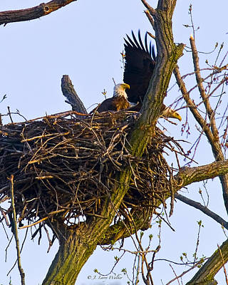 Digital Art - Bald Eagles In Nest by J Larry Walker