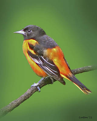 Oriole Photograph - Baltimore Oriole by Larry Linton