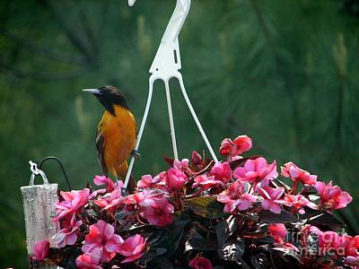 Baltimore Oriole Art Print by Ronald Tseng