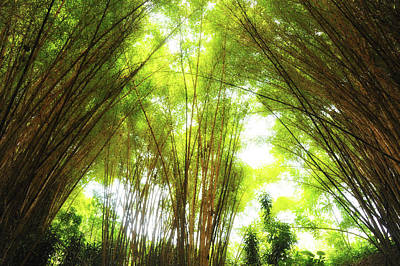 Photograph - Bamboo Canopy  by Harry Spitz