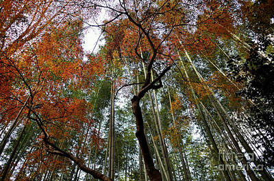Photograph - Bamboo Forest In Autumn by Dean Harte