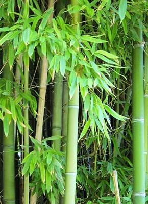 Photograph - Bamboo Garden by Lynnette Johns