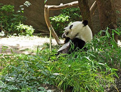 Photograph - Bamboo Is Tasty by Ausra Huntington nee Paulauskaite