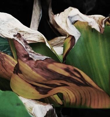 Photograph - Banana Leaf by Todd Sherlock