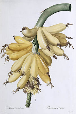 Banana Art Print by Pierre Joseph Redoute