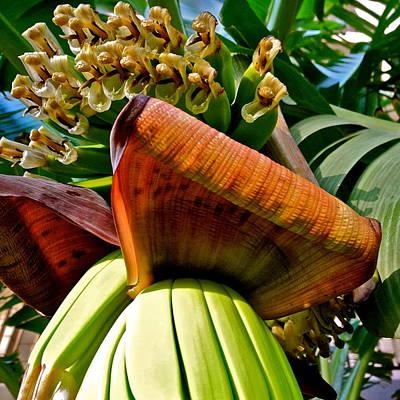Photograph - Banana Plant I I I by Kirsten Giving