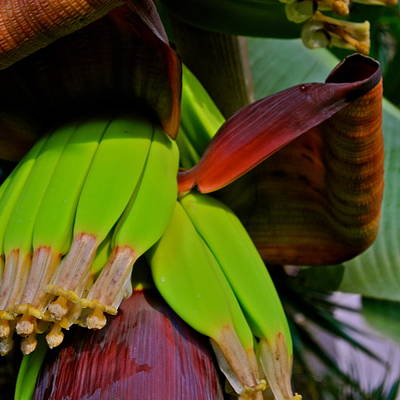 Photograph - Banana Plant I by Kirsten Giving