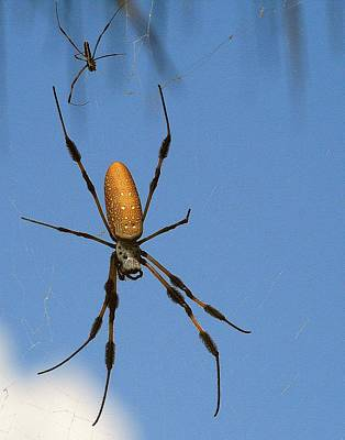 Photograph - Banana Spider by Ira Runyan