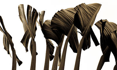 Photograph - Banana Tree Leafs by Atom Crawford