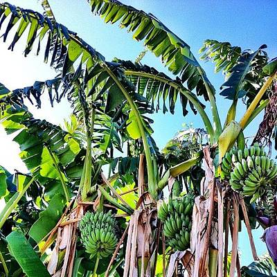 Banana Wall Art - Photograph - Banana's Growing In Eastvale! by Rick  Annette
