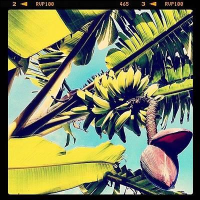 Banana Photograph - Bananas! by Kim Hudson