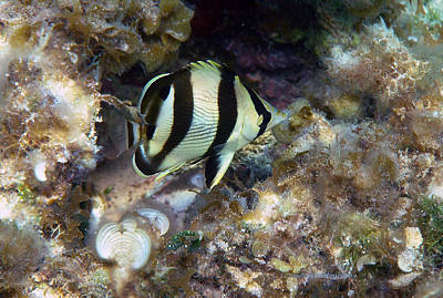 Photograph - Banded Butterflyfish by Li Newton