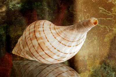 Banded Tulip Seashell Art Print by Bonnie Barry