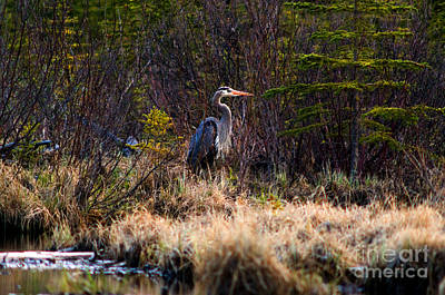Photograph - Banff - Blue Heron by Terry Elniski